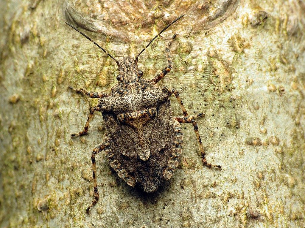 Invasive stink bug