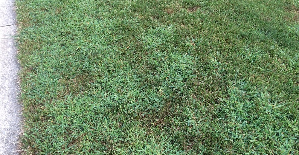 Crabgrass taking over a lawn